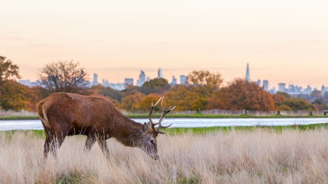 A deer is grazing in a park at sunrise, with London's skyline in the background.